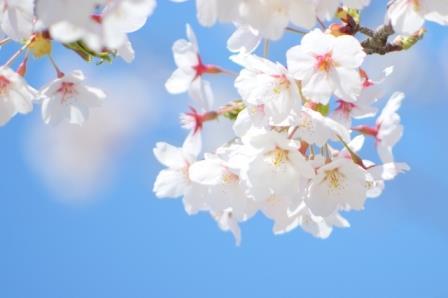 造幣局「桜の通り抜けで屋台」2017!場所や時期、時間はいつまで?
