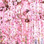城南宮の梅2017!開花状況と見頃「しだれ梅と椿まつり」!