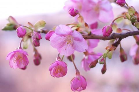 「河津桜」へのアクセス!どこで渋滞、所要時間は?回避するには?