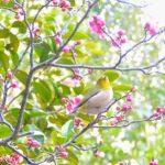 「越生梅林」の梅2017!梅まつり、開花状況とアクセスは?