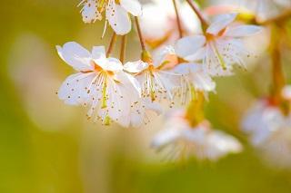 「目黒川」の桜祭り2018!見頃と開花状況、ライトアップなど