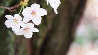 「鶴舞公園」の桜でお花見2017!桜まつりと屋台に場所取り