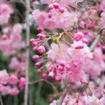 2017春!桜散らしの雨と風、寒さはそろそろ最後?